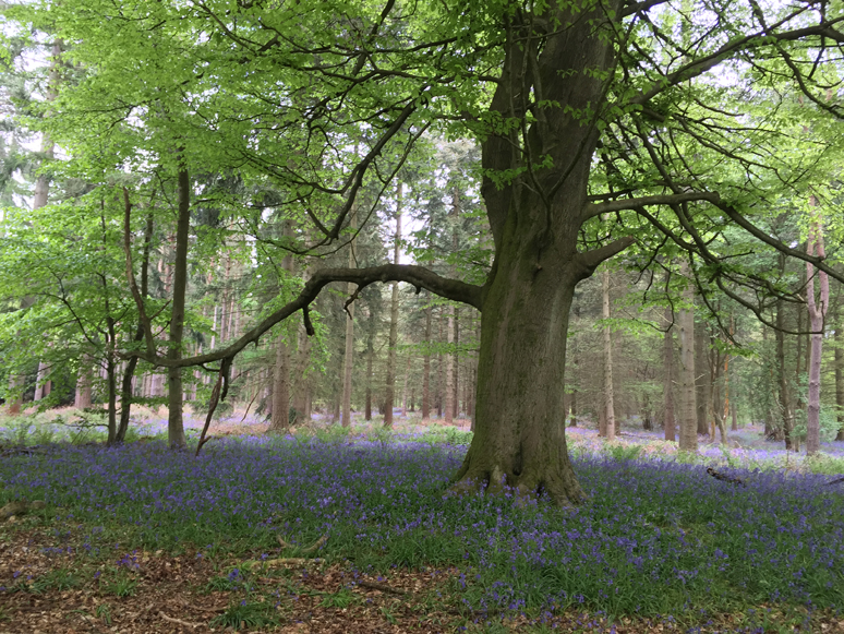 Bluebell Woods - Out and About - This and That Blog
